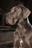 The Great Dane. Expressive portrait of Great Dane Royalty Free Stock Images