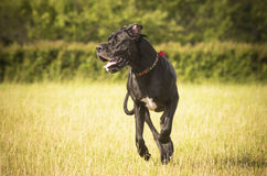 Great Dane feeling happy in the meadow Royalty Free Stock Photography