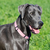 Great dane in field Royalty Free Stock Photo