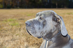 Great Dane in a field alerted to something Royalty Free Stock Photo