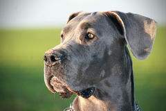 The great dane in fields. The blue great dane in green fields Stock Photography