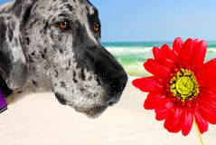 Great Dane and Flower on Beach Royalty Free Stock Images