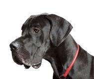 Great Dane in front of white background Stock Photo