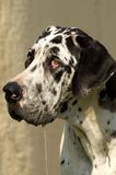 Great Dane Stock Images