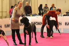 Nitra / Slovakia - December 9th 2018: Two ladies with their Great Danes in a show ring at a dog show` stock photo