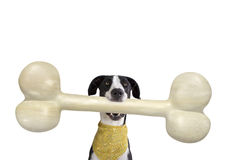 Great Dane with Giant Bone Royalty Free Stock Photo