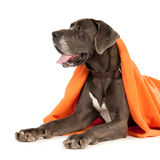 Great Dane half-way hidden under a blanket Stock Photos
