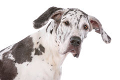 Great dane harlequin. In front of a white background Royalty Free Stock Photos