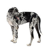 Great Dane HARLEQUIN Stock Photos