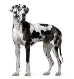Great Dane Harlequin, 4 years old, standing. In front of white background Stock Image