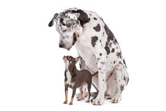 Great Dane HARLEQUIN and a chihuahua Royalty Free Stock Images