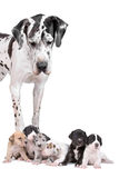 Great dane harlequin with puppies. Great dane harlequin looking down at here puppies Royalty Free Stock Photos