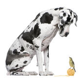 Great Dane Harlequin sitting Royalty Free Stock Photos