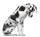 Great Dane Harlequin sitting Stock Photo