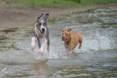 Great Dane i Pitbull bieg wzdłuż plaży obrazy stock