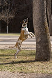 Great Dane Jumping for Squirrels. Fawnequin Great Dane trying to reach a squirrel up in a tree Stock Photo