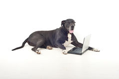 Great dane  with laptop Royalty Free Stock Images