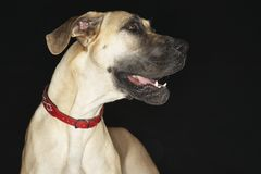 Great Dane Looking Away Stock Photo