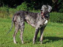 Great dane looking back Stock Photography