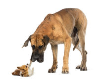 Great dane looking at a Chihuahua Royalty Free Stock Photography