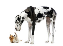Great Dane looking at a Chihuahua Stock Photos