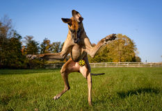 Great Dane looking down at ball on hind legs Royalty Free Stock Photos