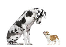 Great Dane looking at a French Bulldog puppy Stock Images