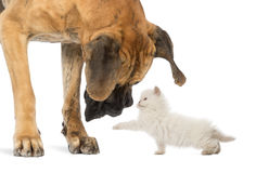 Great Dane looking at a kitten. Isolated on white royalty free stock image