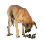 Great Dane looking at a kitten lying on its back and attacking Royalty Free Stock Photography