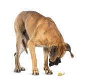 Great Dane looking at a snail. Isolated on white stock photos