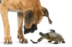 Great Dane looking at a turtle and insects stock photo