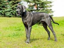 Great Dane looks. Stock Image