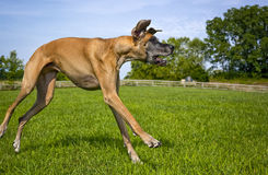 Great Dane loping across field Stock Images