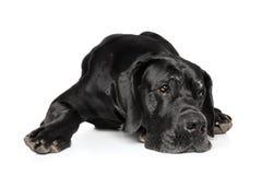 Great Dane lying down Royalty Free Stock Photo