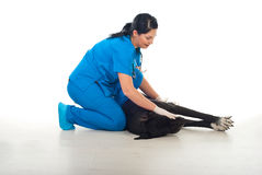 Great dane lying down at veterinary Stock Photo