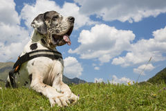 Great dane lying on the field Stock Photo