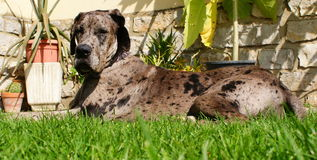 Great dane merle Royalty Free Stock Photos