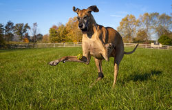 Great Dane missing yellow ball eyes closed. Both front feet in the air Royalty Free Stock Photography