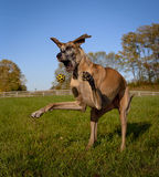 Great Dane, mouth agape, facing left,catching yellow ball. Great Dane in field trying to catch yellow ball, mouth agape, on hind legs Stock Photography