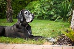 Great dane negro viejo que miente en hierba en el jardín Imagenes de archivo