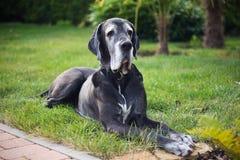 Great dane negro viejo que miente en hierba en el jardín Fotos de archivo libres de regalías