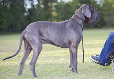 Great Dane and owner Royalty Free Stock Photography