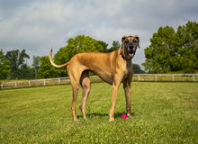 Great Dane in pasture Stock Image
