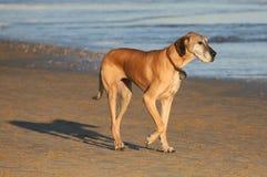 Great Dane Pedigree Dog Royalty Free Stock Photos