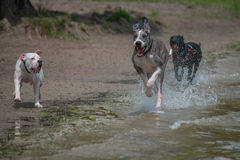 Great Dane and Pitbull running along beach Stock Image