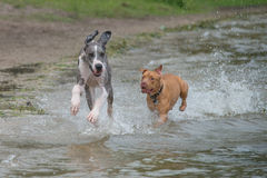 Great Dane and Pitbull running along beach stock images