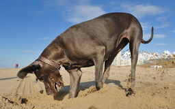 Great Dane playing with sand Royalty Free Stock Image