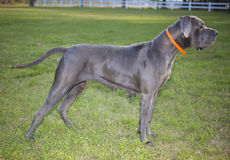 Great Dane on point Royalty Free Stock Photos