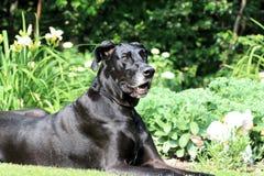 Great Dane Portrait Stock Photo
