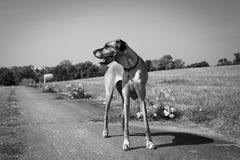Great Dane pozycja w zbierającej ziemi uprawnej w czarny i biały Fotografia Royalty Free